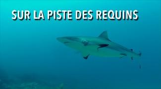 Sur la piste des requins